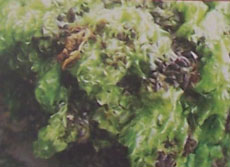 Algas Carabassi